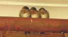 Baby swallows near the front door_1